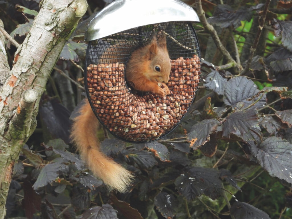 Ken Ormonde submitted this photo of a red squirrel enjoying a feast of nuts from the bird feeder in his garden at Kirkby Stephen.