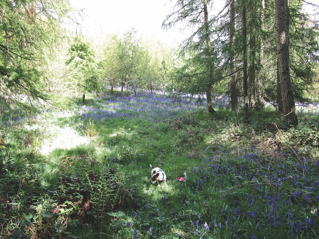 A dog is enjoying itself among bluebells at Flakebridge Woods in this photo taken by Alasdair Wilson, of Sandford.