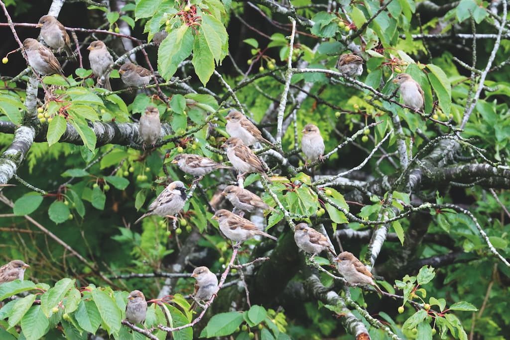 Sparrows are gathered in their masses in this lovely sociable shot by Rob Young, of Penrith.