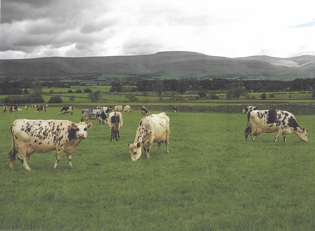 Some of John Findlay's pure-bred Normande cattle busy converting grass to milk.