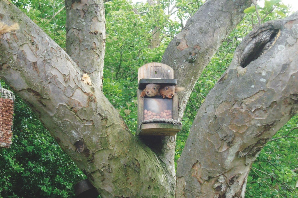 Squirrels in the garden of Iain Dargue, Flakebridge, Appleby.