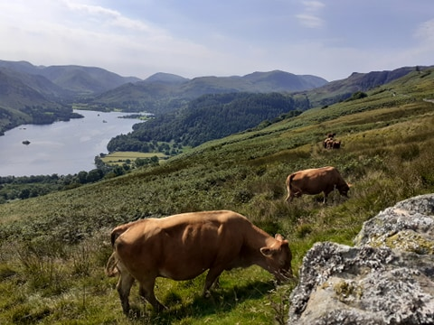 Summer grazing at Ullswater, by Janet Hicks