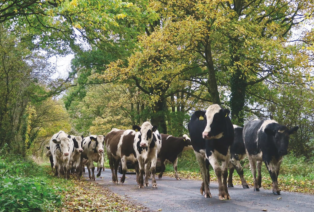 Droving heifers to pastures new at Newbiggin, Culgaith, taken by Culgaith resident David Whiting.