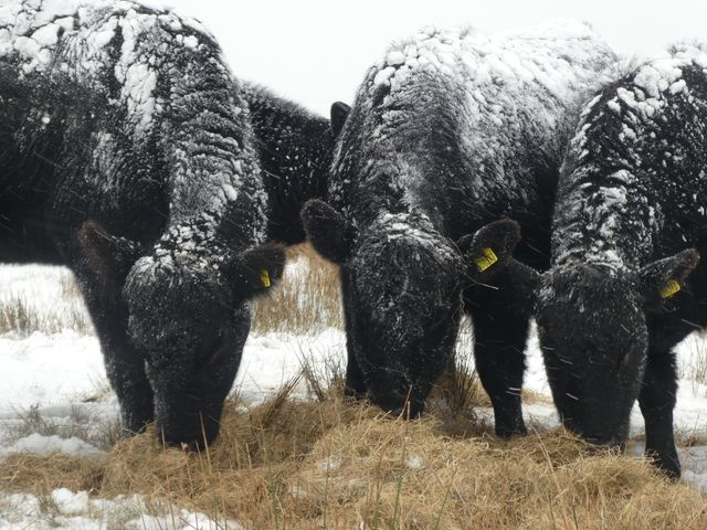 Julie Tunstall. Angus cattle in snow at Fell End Ravenstonedale