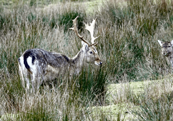 Fallow deer stag at Dalemain by Tony Reed, of Pooley Bridge